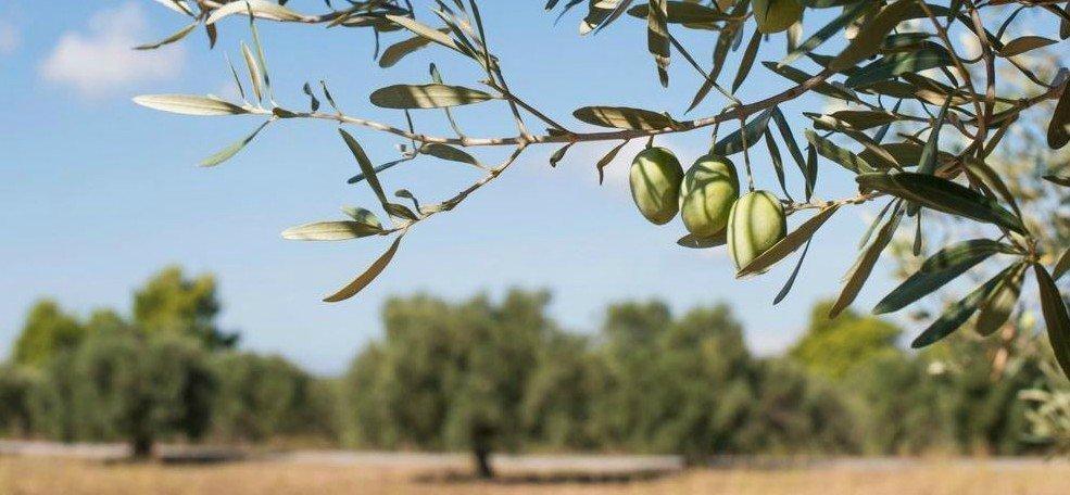 De belles olives saines - c'est là que tout commence ...